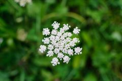 Umbellate inflorescence of white flowers on a blurred background. Macro photo Royalty Free Stock Image