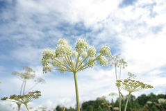 Umbellate plant. Of a light shade against pleasant summer clouds and the dark blue sky Stock Image