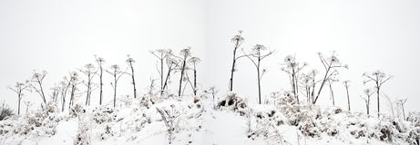 Umbellate plants under snow. The cloudy sky. Umbellate plants under snow. The bottom view on a high hill Royalty Free Stock Photos