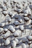 Umbellate plants under snow. In the cold winter Stock Photography