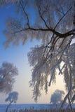 Umbellate rośliny pod śniegiem Zdjęcie Royalty Free