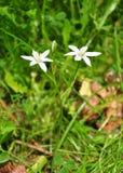 umbellatum звезды ornithogalum Вифлеема Стоковая Фотография RF