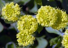 Umbellatum d'Eriogonum Photographie stock