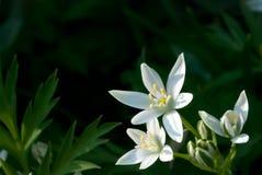Umbellatum del Ornithogalum (Estrella-de-Belén, lirio de la hierba Foto de archivo