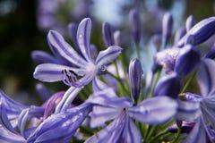 Umbellatus Agaphanthus Στοκ Φωτογραφίες