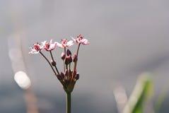 umbellatus de précipitation de fleur de butomus macro Images stock