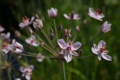 Umbellatus di fioritura di Butomus di attività Fotografia Stock Libera da Diritti