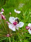 Umbellatus di fioritura di Butomus di attività che fiorisce sull'estate immagini stock libere da diritti