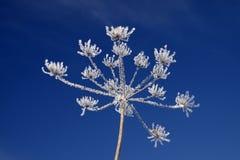 umbellifer χειμώνας πάγου κρυστάλ& Στοκ εικόνες με δικαίωμα ελεύθερης χρήσης