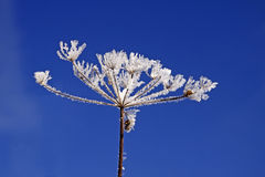 Umbellifer with ice crystals Royalty Free Stock Photo