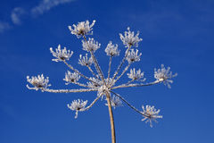 Umbellifer with ice crystals in winter Stock Image