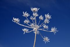 Umbellifer with ice crystals in winter Royalty Free Stock Images