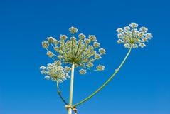 umbelliferae apiaceae Στοκ φωτογραφία με δικαίωμα ελεύθερης χρήσης