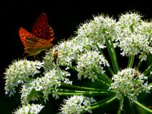 White blooming umbels flower with red butterfly. Umbelliferae with stain-butterfly, Moth butterfly on umbellifer, smelling umbellifer with landed red Butterfly stock photo