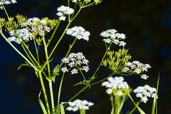 Umbelliferous plant blossoms isolated on black Stock Images