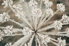 Umbelliferous plant covered with icy crystals Stock Photos