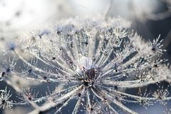 Umbelliferous plant cow-parsnip in winter in rime frost Royalty Free Stock Images