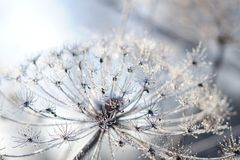 Umbelliferous plant cow-parsnip in winter in rime frost Stock Photo