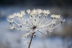 Umbelliferous plant cow-parsnip in winter in rime frost Royalty Free Stock Photo