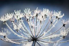Umbelliferous plant cow-parsnip in winter in rime frost. In Russia stock image