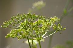 Umbelliferous plant Royalty Free Stock Photos