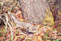 Umbellus för Bonasa för Ruffed skogshöns som bygga bo kamouflage Arkivbilder