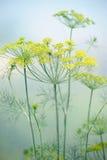 Umbels цветка укропа в поле Стоковые Изображения RF