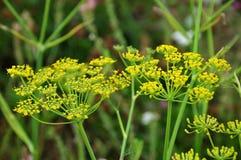 Umbels цветя фенхеля Стоковое Изображение RF