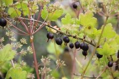 Umbels noirs de groseille à maquereau et d'aneth Photos stock