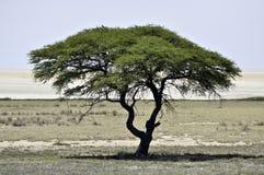 Umbrella acacia. An umbrella acacia in Namibia Stock Image