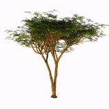 Umbrella Acacia Tree Royalty Free Stock Images