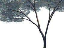 Umbrella Acacia Tree - Isolated Royalty Free Stock Photos