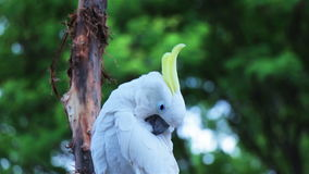 Umbrella Cockatoo cleaning its feathers. Using its beak stock footage