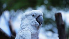 Umbrella Cockatoo making noises stock video footage