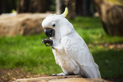 Umbrella Cockatoo Portrait 1 Stock Photos