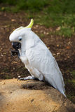 Umbrella Cockatoo Portrait 4 Royalty Free Stock Photos