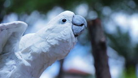 Umbrella Cockatoo stretching its wings. And moving its tongue stock footage