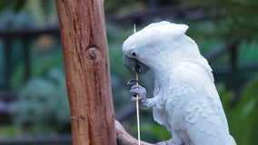 Umbrella Cockatoo stripping a stick. Using its beak stock video footage