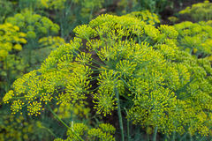 Umbrella dill close-up. Stock Image