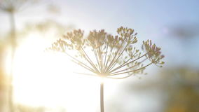 An umbrella dill at sunset. Sways in the wind stock video