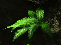 Umbrella or fan fern in sunshine Royalty Free Stock Photography