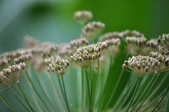 Umbrella with fennel seeds GARDEN_8 Stock Images