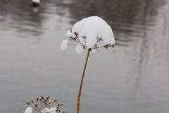 Umbrella grass goutweed in the snow Royalty Free Stock Photos