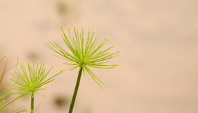 Umbrella grass Stock Image