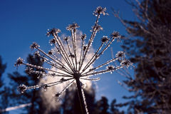 Umbrella inflorescence covered with ice, illuminated by light of. Dry umbrella inflorescence covered by ice crystals, illuminated by the light of the sun against Royalty Free Stock Photos