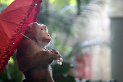 Umbrella and monkey Stock Photography