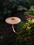 Umbrella mushroom in forest. Umbrella mushroom in earthy moss on forest floor Royalty Free Stock Image