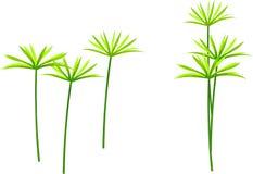 Umbrella palm tree Royalty Free Stock Photos