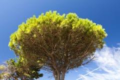 Umbrella pine Royalty Free Stock Image