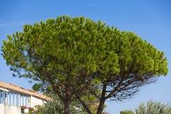 Umbrella pine Royalty Free Stock Images